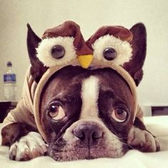 Boston Terrier Owl - L, perhaps you should do To-ke Owl Cute Puppies, Cute Dogs, Dogs And Puppies, Doggies, Baby Animals, Funny Animals, Cute Animals, Boston Terrier Love, Boston Terriers