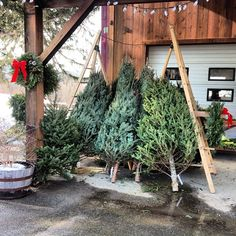 Christmas trees - you can almost smell the pine