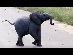 Flock of Swallows Try to Impede the Path of a Baby Elephant Who Just Wants to Cross the Street