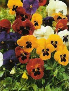 planten voor in de border waar slakken niet van houden: viooltjes