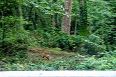 Fox in Umbra Forest Gargano
