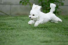 Resultados da Pesquisa de imagens do Google para http://my10online.com/wp-content/uploads/2011/09/Bichon-Frise-puppy-on-running.jpg