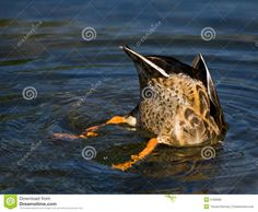 Mallard Bottom - Download From Over 41 Million High Quality Stock Photos, Images, Vectors. Sign up for FREE today. Image: 5790966