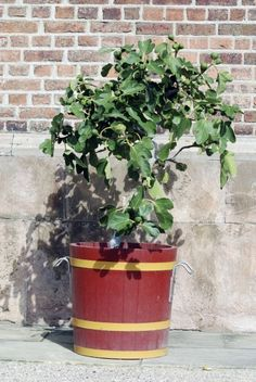 Planting Fig Trees In Pots – How To Care For Potted Fig Trees