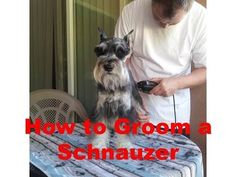 How to Groom a Miniature Schnauzer - YouTube