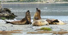Elephants seals in Patagonia