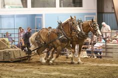 draft horse teams | draft horse pulling contest (team 1) | Flickr - Photo Sharing!