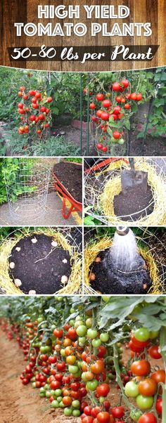 50-80 Lbs of Tomatoes Per Plant in Your Garden cutediyprojects.com