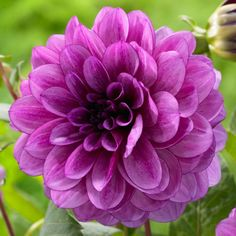 Dahlia Blue Bell. A top-performing decorative dahlia with violet-purple flowers on strong stems. The 5