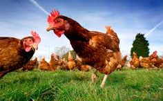 Image result for images chickens