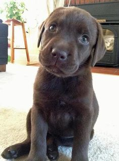 Who, Me? is listed (or ranked) 5 on the list The Cutest Chocolate Lab Pictures