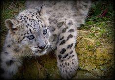 squeeeee! leopard cub