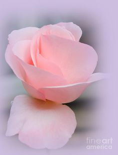 ✯ Tenderness Of A Rose