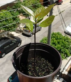 My avocado baby still growing strong!!
