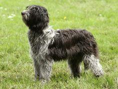 schapendoes dog photo | Schapendoes dog pictures