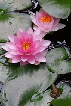 Lotus flowers with a little frog 🐸 friend. Exotic Flowers, Amazing Flowers, Beautiful Flowers, Lily Garden, Lily Pond, Water Flowers, Aquatic Plants, Flower Pictures, Belle Photo