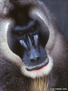 """These west african """"Drill"""" monkeys are being eaten to extinction in the bush meat trade."""