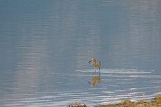 Willet ©Steve Frye. Wild Bird Company - Boulder, CO. Saturday Morning Bird Walk in Boulder County - May 2, 2015.