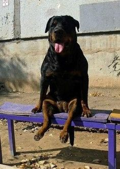 Rottweiler #Dog - 56 Pictures