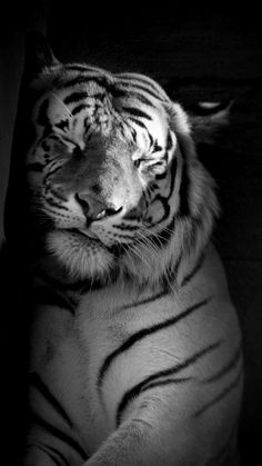 I love cats, tigers are beautiful creatures! I Love Cats, Big Cats, Cats And Kittens, Siamese Cats, Beautiful Cats, Animals Beautiful, Beautiful Beach, Tigre Animal, Sleeping Tiger