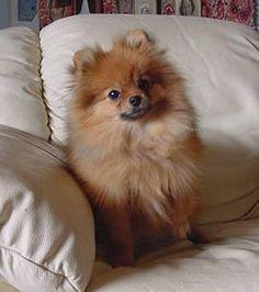 pomeranian sheepdog photo | Pomeranian puppy breeder photo.jpg