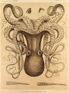 "Octopus Marmoratus from ""Kunstformen der Natur"" (Art Forms of Nature) by Ernst Haeckel Octopus Illustration, Nature Illustration, Botanical Illustration, Le Kraken, Natural Form Art, Octopus Art, Octopus Drawing, Octopus Painting, Octopus Tattoos"