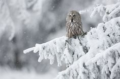 A great grey owl perched in snowy woods.
