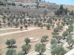 Olive trees on the Temple Mount in Jerusalem.