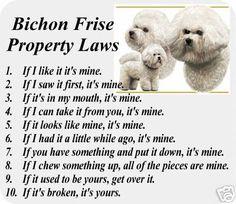 Bichon Frise Property Laws