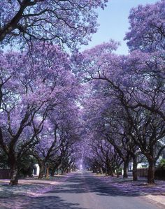 Jacaranda trees. When I first saw Jacaranda trees in California, I was thrilled. Purple is my favorite color and I had no idea there was such a tree. I was fascinated with the color.