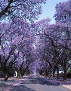 Jacaranda trees in Grafton, NSW. Grafton has a wonderful weekend Jacaranda Fair each year in early November and the streets of Jacarandas are glorious. Making it THE Jacaranda city Pretoria, Tree Tunnel, Beautiful Places, Beautiful Pictures, Belleza Natural, Flowering Trees, Shades Of Purple, Tree Of Life, Bonsai