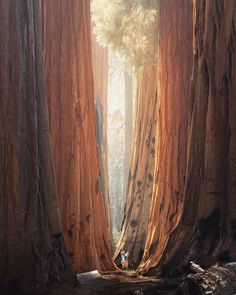 Sequoia National Park is home to the tallest mountain in the Lower 48 and the largest tree on earth ! Is Sequoia National Park on your bucket list ? Photo by Sequoia National Park California, Sequoia California, California Usa, Giant Tree, Giant Sequoia Trees, Big Tree, Unique Trees, Us National Parks, Amazing Nature