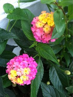 Lantana (lantana camara): Native to the Central and South America, this species of lantana (also commonly called shrub verbena) is an upright frost-tender shrub that grows 3-6' tall in warm climates. In the north, it is used as an annual. Grow in full sun