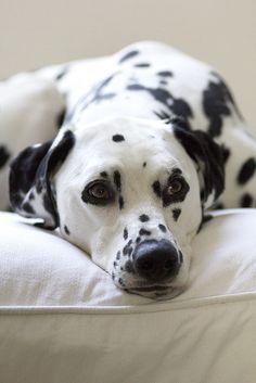Dalmatian | Flickr - Photo Sharing!