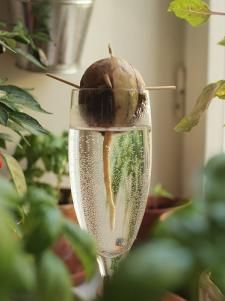 Do you want your own avocado plant? With only one avocado core, the . - Do you want your own avocado plant? The adventure begins with just one avocado core. You can find ou - Avocado Toast, Indoor Trees, Indoor Plants, Indoor Garden, Avocado Dessert, Avocado Smoothie, Garden Plants, House Plants, Vegetable Gardening