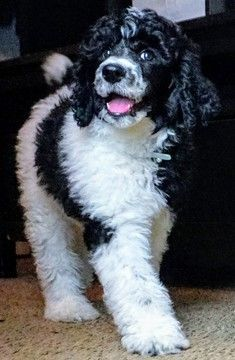 Poodle Standard Puppy For Sale In Covington Ga Usa Adn 105186