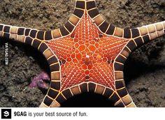 Iconaster longimanus, most beautiful starfish Underwater Creatures, Underwater Life, Ocean Creatures, Beautiful Creatures, Animals Beautiful, Beautiful Things, Life Under The Sea, Sea And Ocean, Fish Ocean