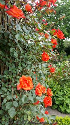 Rosa 'Warm Welcome'
