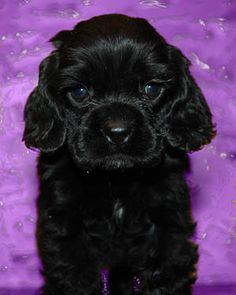 cutest puppies on the planet. black cocker spaniel puppy - Google Search