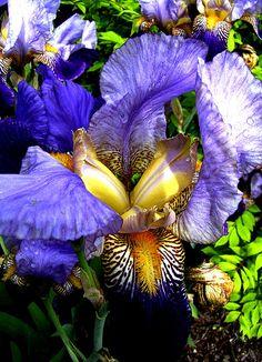 Amazing #Iris by photographer & digital artist, Michele Avanti   Gorgeous digitally enhanced composite #Irises. Photo taken outside in Myrtle Creek, Oregon. #flowers, #iris, #flora
