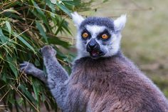 Ring tailed lemur searching for new shoots to feed on.  Enjoy my other images of nature in full size by clicking on the thumbnail.  They are also available to buy in a variety for formats or as a digital download without the watermark. #ringtailedlemur #aniaml