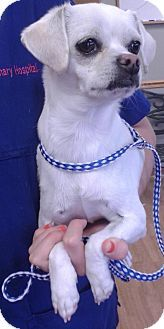Mount Airy, NC - Chihuahua Mix. Meet Penelope-Claire a Dog for Adoption.