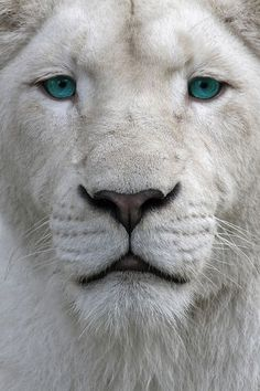 Beautiful light tan lion with turquoise eyes  Wildlife phitography