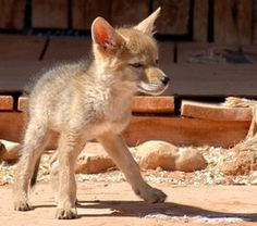 Baby Coyote! http://tanqueverderanch.com/