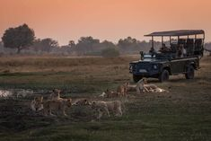 Chitabe Lediba camp in the Okavango Delta of Botswana. A pride of lions on the floodplain close to the camp at sunset. Delta Del Okavango, Safari, Lion Pride, Wildlife, Camping, Sunsets, Animals, Cats, Awesome