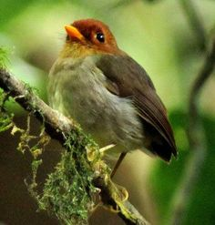 Hooded antpitta (Grallaricula cucullata) is a species of bird in the Grallariidae family. It's found in Colombia & Venezuela. Its natural habitat is subtropical or tropical moist montane forests. It is threatened by habitat loss... by Diego Calderon