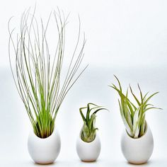 3 Ivory Ceramic Vases with Air Plants - 2 Large & 1 Mini - Includes Juncifolia, Harrisii, & Caput Medusae Air Plants