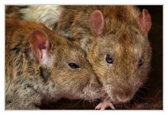Brotherly love - Fancy rats by DianePhotos