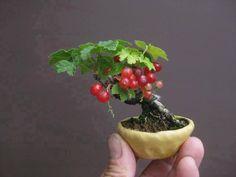 Tiny Red Currant Bonsai.