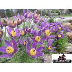 28 Best Nebraska Wildflowers Images Wild Flowers Plants